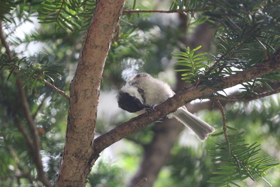 上高地でよく見られる野鳥「コガラ」